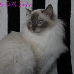 India Ragdoll