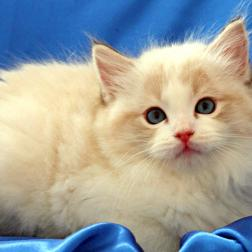 blue  lynx bicolor ragdoll male kitten
