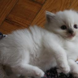 chocolate mitted female ragdoll kitten, cats